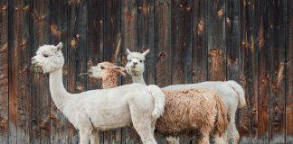 Kurban kambing betina boleh
