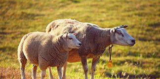 Belum Diakikahi Bolehkah Mengakikahi Sendiri? Thehumairo